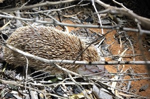 Lesser hedgehog tenrec (Jan Gersag, Rainbow Tours client)