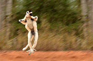 The famed 'dancing' moves by Verreaux's sifaka, Berenty