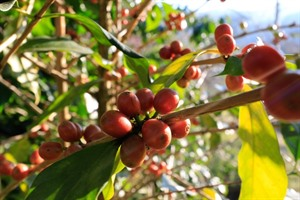Coffee bush, Boquete