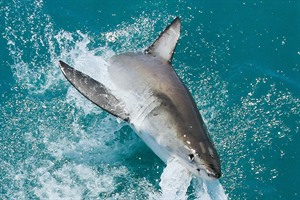 Great White Hennie Otto / SharkwatchSA.com