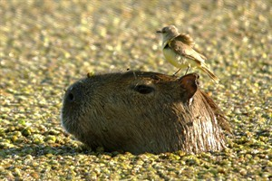 Capybara in the Ibera Wetlands