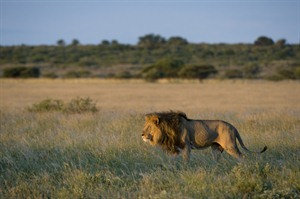 Lion in Central Kalahari Game Reserve