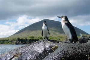 Penguins at Galapagos Safari Camp