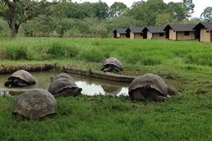 Tortoises at Magic Galapagos Tented Camp