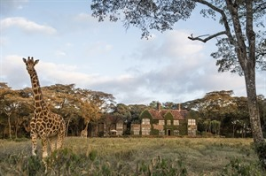 Splendid views of Giraffes at the Giraffe manor near Nairobi, Kenya