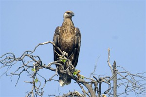 One of the world's six rarest raptors, Madagascar fish eagles are easily seen around Anjajavy