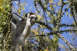 Critically endangered Verreaux's sifaka, Ifotaka Community Forest
