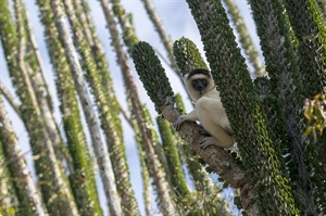Verreaux sifaka on Didieracea (finger) trees, Ifotaka