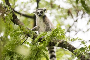 Ringtail lemur, the national mammal - Ifotaka