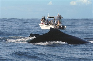 Whale watching organised by Princesse Bora Lodge