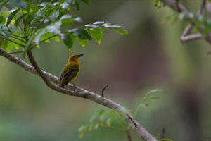 Principe golden weaver, one of several endemic species