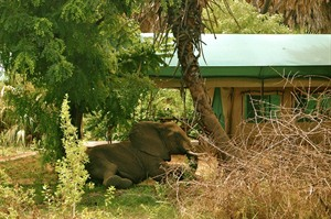 Elephant at Lake Manze Camp