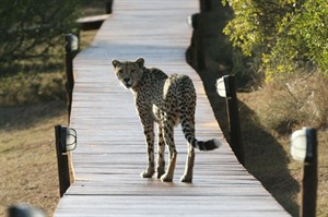 Cheetah spotting at Amakhala Bukela Game Lodge