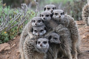 Local meerkat colony