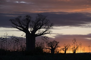 Fine specimens of the large southern Malagasy baobab