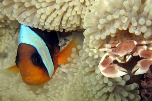 Clownfish in the vibrant reefs near Nosy Sakatia
