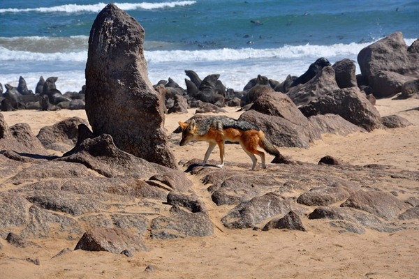 Jackal Hunting on Skeleton Coast
