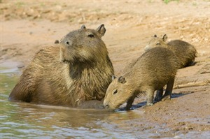 Capybara in the Wetlands