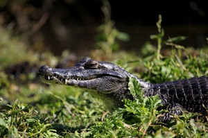 Caiman in the Wetlands