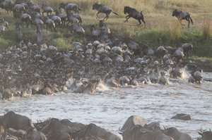 Great Migration river crossing.