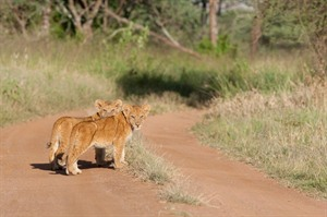 Lion cubs in the Serengeti National Park, Tanzania