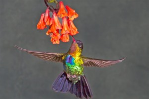 Fiery-throated hummingbird, Poas volcano area