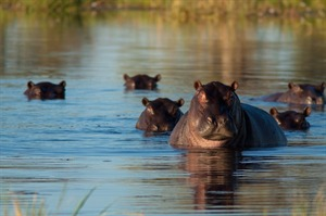 Hippos swimming in the Moremi Game Reserve