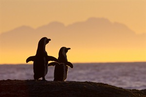 Sunset Photograph of Penguins At Boulders Beach, South Africa