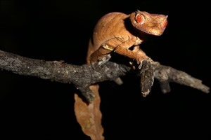 Satanic leaf-tailed gecko is best sought around Ranomafana