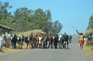 Zebu herders guiding cattle near Ambalavao (Craig)