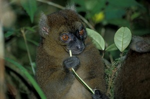 Ranomafana protects the critically endangered Greater bamboo lemur