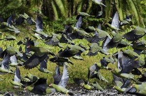 Flock of African green pigeons at the bai