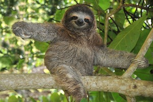 Three toed sloth