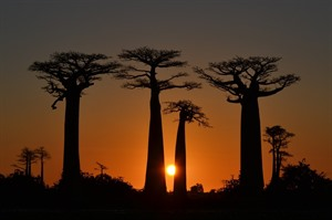 The iconic Allee des Baobabs near Kirindy