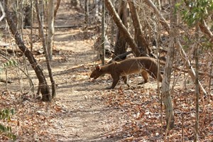 Fosa are best sought in Kirindy, an amazing wildlife hotspot