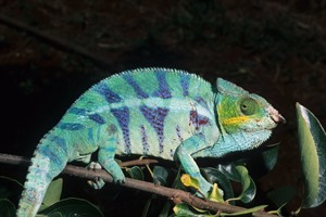 Panther chameleon (Dr F Andreone)