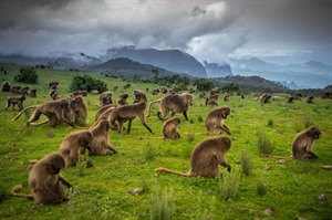 Geladas grazing in the Simiens (ETO) - a wonderful Primate Experience!