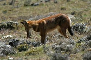 Ethiopian wolf hunting on the Sanetti Plateau