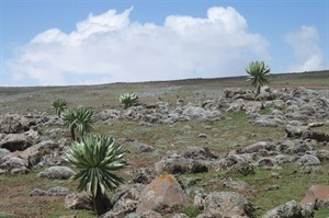 Sanetti Plateau moorlands: the Roof of Africa! (Derek)