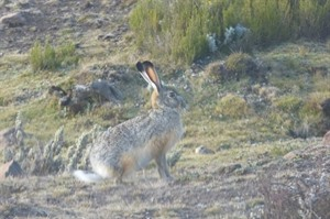 Endemic Starck's hare, Sanetti Plateau