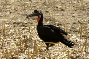 The spectacular Abyssinian ground hornbill