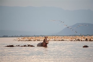 Hippos and waterbirds, Ethiopian Rift Valley lakes region