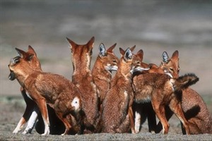 Ethiopian wolf - gravely endangered icon of the Ethiopian Highlands