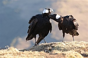 Thick-billed ravens, Simien Mountains