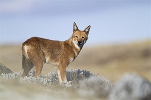 Less than 400 Ethiopian wolves remain today