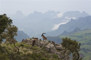 Walia ibexes and Geladas in Simien Mountains National Park
