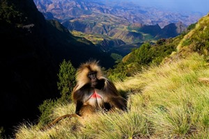 Gelada monkeys are common in the Simien Mountains