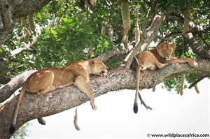 Lazy lounging lions