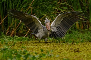 The incredible Shoebill can be sought on Lake Albert, Semliki