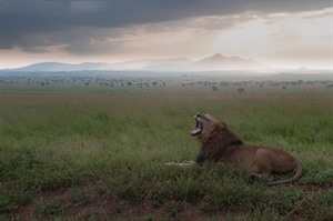Lion surveying the expansive Kidepo savannah